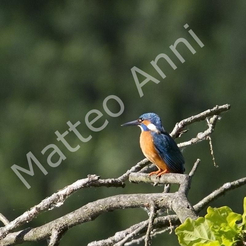 Martin pescatore Alcedo atthis,