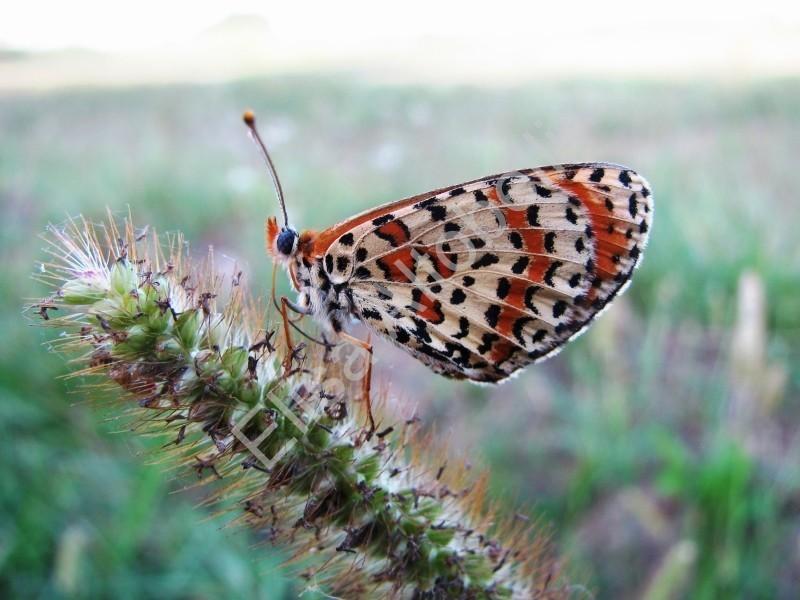 Spotted Fritillary Melitaea didyma,