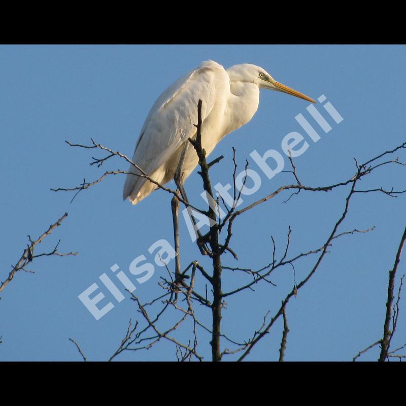 Airone bianco maggiore Casmerodius albus, maschi e femmine non mostrano differenze morfologiche marcate