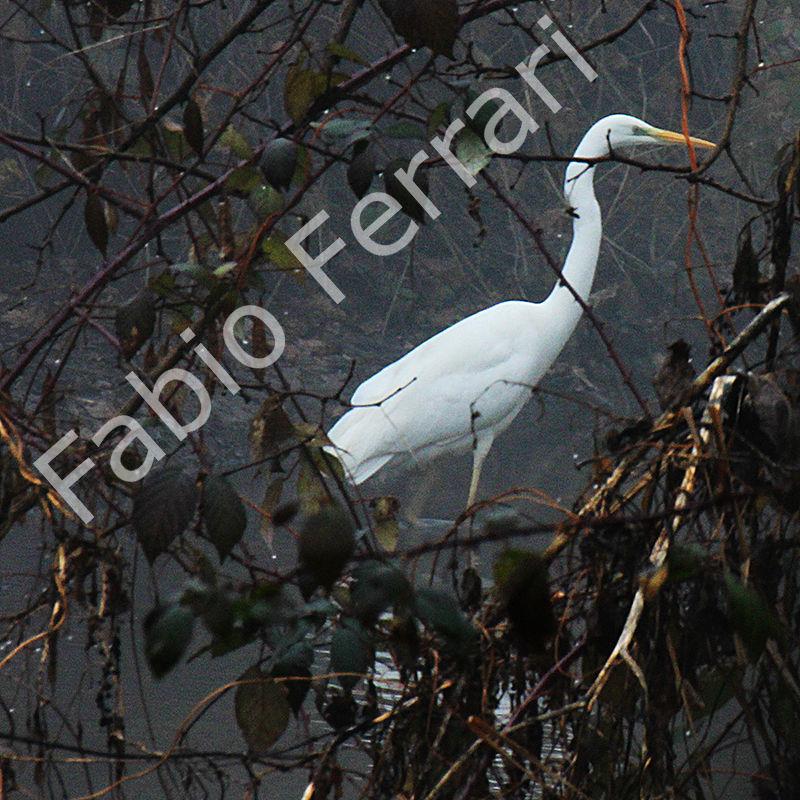 Airone bianco maggiore Casmerodius albus,