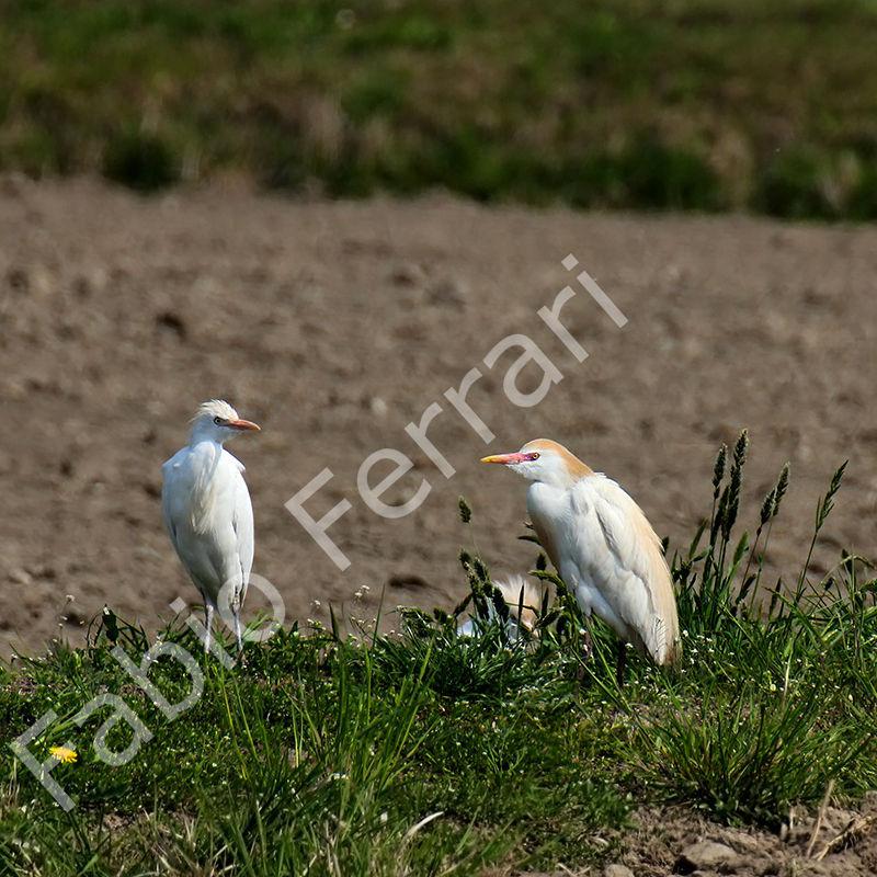 Airone guardabuoi Bubulcus ibis,