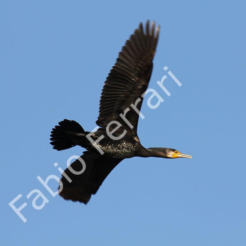 Cormorano Phalacrocorax carbo,